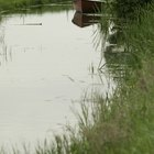 How to get rid of bulrush