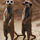 What Do Meerkats Eat?