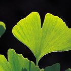 How to Grow Ginkgo From Cuttings
