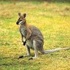 ¿Por qué los canguros viven en otras partes del mundo?
