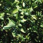 Cómo cultivar un arbusto de lima desde las semillas