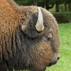 Is Bison Healthy Red Meat?