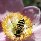 Cómo deshacerte de una infestación de avispones, avispas y abejas
