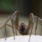 Cómo eliminar las arañas del hogar de manera natural