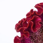 Cómo cultivar la celosía cresta de gallo rojo terciopelo