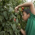 ¿Por qué los brotes de tomate se secan y se caen?