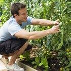 O que causa ferrugem no tomate e como eliminar o problema?