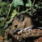Repelente casero para ratas y ratones