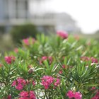 How to Grow Oleanders From Cuttings