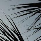 ¿Qué tipo de suelo se necesita para cultivar una palmera enana?