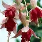 How to Identify Hardy Fuchsia