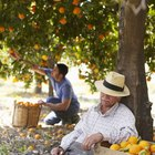 O que faz as folhas de uma laranjeira ficarem amareladas?