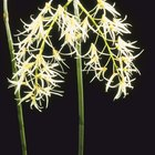 Adaptation of a Spider Orchid Flower