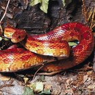 How to determine a corn snake's age by length