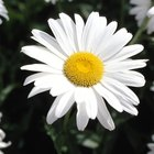 My marguerite daisy leaves are turning yellow