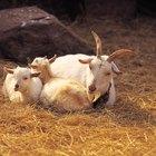 Cómo procesar leche de cabra en el hogar
