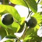 Como salvar uma árvore de citrus que está morrendo