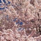 Zona de plantacion de los cerezos japoneses sakura