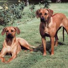 Are Ridgeback Puppies Born With Ridges?