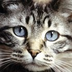 The Causes of a 3rd Eyelid in Cats