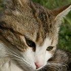 Los pros y contras de tener un gato como mascota