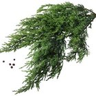 Juniper's feathery foliage adds texture to a small grouping.