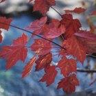 Cómo plantar un arce real de hojas rojas