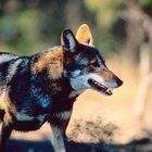 Los zorros rojos y las razones por las que se los cazaba