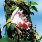 Cómo injertar orquídeas en los árboles