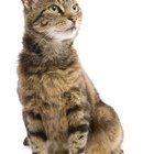 Complications of Diabetes in Cats