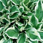 Hosta foliage can be green, gray-green or blue-green and one solid color or variegated.