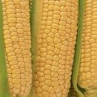 How to Tell When Corn on the Cob Is Bad?