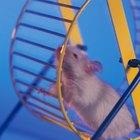 Cómo entrenar a tu rata para que haga trucos