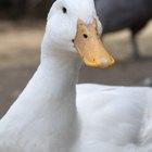 Cómo cuidar a patos que ponen huevos