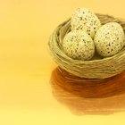 ¿Cómo criar cockatiels desde el huevo?