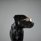 Goggles or Glasses for Dogs