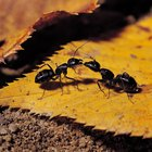 Como livrar-se de formigas em uma rachadura no cimento próxima à porta da garagem