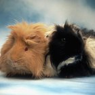 How to Keep Dogs Away From Guinea Pig Cages