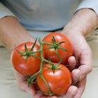 Cómo saber cuando un tomate se ha estropeado
