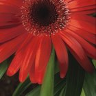 How to Get Rid of White Mold on Gerbera Daisies