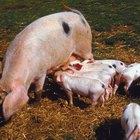 Como saber se uma porca produtora de suínos de abate está no cio