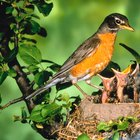How to Determine a Male & Female Robin