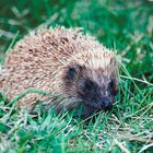 Can Hedgehogs Live Together?