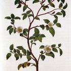 ¿Cómo cultivar una planta de té verde?