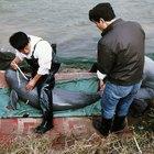 ¿Qué causó la extinción del delfín baiji?