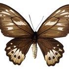 Cómo matar una gran mariposa