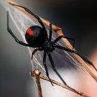 Que tipos de aranhas têm a barriga vermelha?