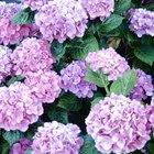 Fertilizante alcalino para hortensias