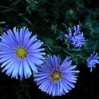 Many asters are purple.