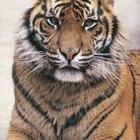 O que come um tigre siberiano?